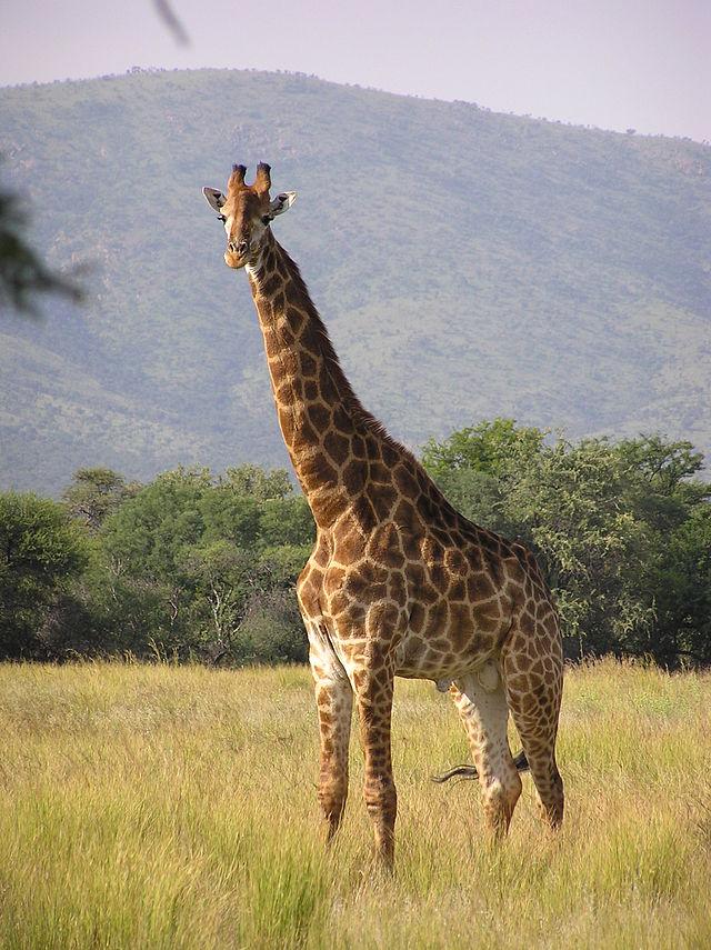 640px-Giraffe_standing